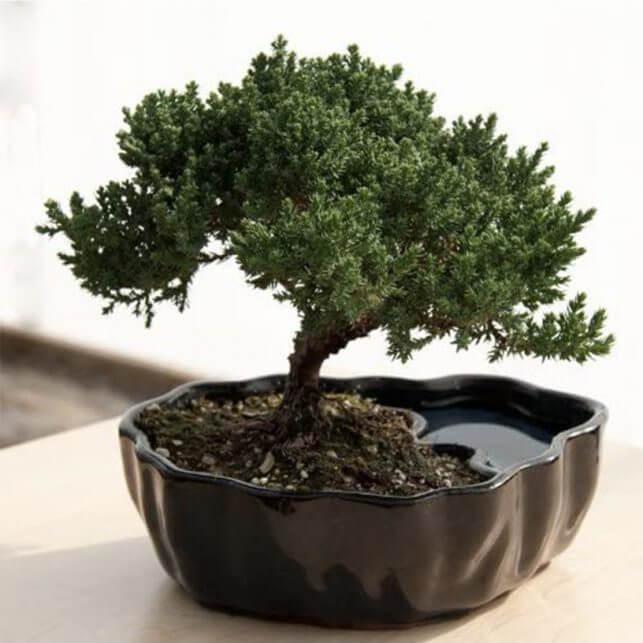 15 Thoughtful Housewarming Gift Ideas miniature bonsai tree